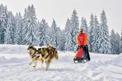 Cani di slitta in concorrenza che corrono con la slitta e il musher fotografia stock libera da diritti