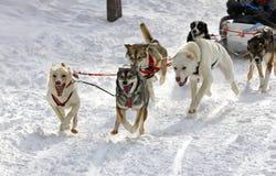 Cani di slitta del husky fotografie stock libere da diritti