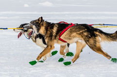 Cani di slitta di Iditarod Immagini Stock Libere da Diritti