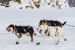Cani di slitta di Iditarod Immagine Stock Libera da Diritti