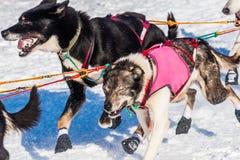 Cani di slitta di ricerca del Yukon Fotografia Stock