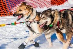 Cani di slitta di ricerca del Yukon Immagine Stock