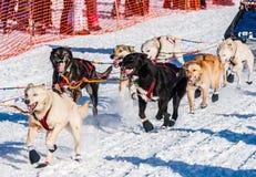 Cani di slitta di ricerca del Yukon Fotografie Stock Libere da Diritti