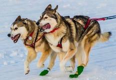 Cani 2016 di slitta di ricerca del Yukon Fotografia Stock