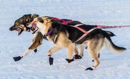 Cani 2016 di slitta di ricerca del Yukon Immagini Stock Libere da Diritti