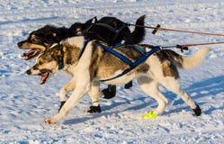 Cani 2016 di slitta di ricerca del Yukon Immagine Stock Libera da Diritti