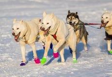 Cani 2016 di slitta di ricerca del Yukon Fotografie Stock Libere da Diritti