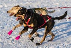Cani 2016 di slitta di ricerca del Yukon Immagine Stock