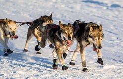 Cani 2016 di slitta di ricerca del Yukon Fotografia Stock Libera da Diritti