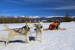 Cani di slitta e montagne rocciose di Colorado della slitta della neve Fotografie Stock