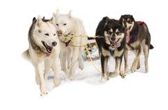 Cani di slitta Hasky in cablaggio su bianco immagini stock
