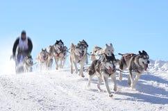 Cani di slitta nella corsa di velocità Immagine Stock
