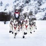 Cani di slitta nella corsa di velocità Immagine Stock Libera da Diritti