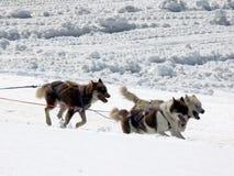 Cani di slitta nella neve fotografia stock