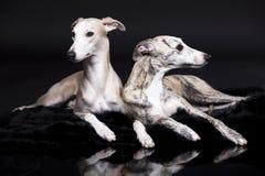 Cani di tvo di piccoli levrieri inglesi Immagini Stock Libere da Diritti