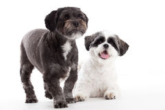 2 cani di tzu di shi nello studio Fotografia Stock Libera da Diritti