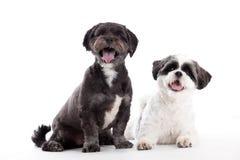 2 cani di tzu di shi stanno guardando Immagini Stock Libere da Diritti