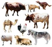 Cani ed altri animali da allevamento Isolato sopra bianco Fotografia Stock