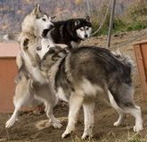 Cani eschimesi Fotografia Stock