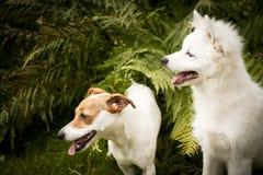 Cani felici Fotografia Stock
