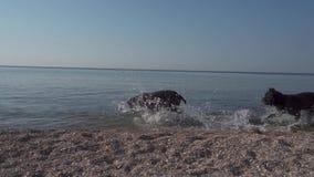 Cani felici del funzionamento di Cane Corso della razza lungo il movimento lento della spiaggia video d archivio