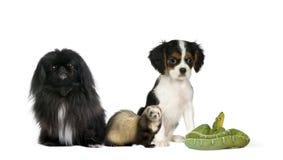 Cani, furetto e serpente verde nella priorità bassa fronta Fotografia Stock Libera da Diritti