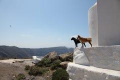 Cani in Grecia Immagini Stock Libere da Diritti