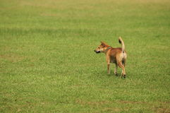 Cani indigeni della Tailandia sul prato inglese Fotografia Stock Libera da Diritti