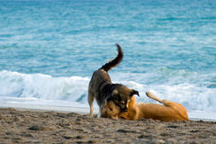 Cani nell'amore Fotografie Stock