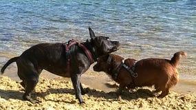 Cani nell'azione Fotografie Stock Libere da Diritti