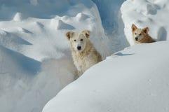 Cani nella neve Immagine Stock