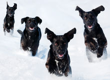 Cani nella neve Fotografie Stock