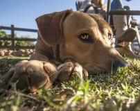 Cani pazzeschi Fotografia Stock