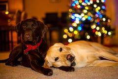 Cani in primo piano di illuminazione dell'albero di Natale della stanza della decorazione di natale fotografia stock