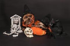 Cani pronti per Halloween immagine stock