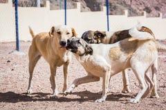 Cani protettivi dall'uccisione e dall'avvelenamento nel riparo in Aqaba, Giordania del cane fotografia stock libera da diritti