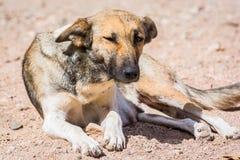 Cani protettivi dall'uccisione e dall'avvelenamento nel riparo in Aqaba, Giordania del cane fotografia stock
