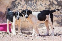 Cani protettivi dall'uccisione e dall'avvelenamento nel riparo in Aqaba, Giordania del cane immagini stock libere da diritti