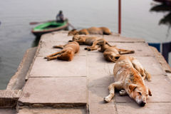 Cani randagi che dormono al sole vicino alla sponda del fiume nella città indiana Fotografia Stock