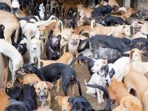 Cani salvati dalla mafia della carne Immagine Stock