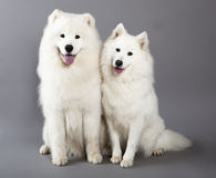 Cani samoiedi Fotografie Stock Libere da Diritti