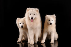 Cani samoiedi Fotografia Stock
