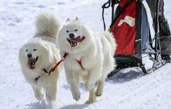 Cani samoiedi nella velocità che corre, muschio della slitta, Immagine Stock