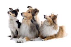 Cani scozzesi del collie Fotografie Stock