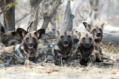 Cani selvaggi Immagini Stock