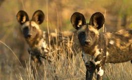 Cani selvaggi fotografia stock libera da diritti