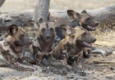 Cani selvaggi Fotografie Stock Libere da Diritti