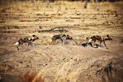 Cani selvaggi africani di pictus di Lycaon Fotografie Stock Libere da Diritti