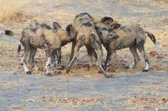Cani selvaggi che allattano Tom Wurl Fotografia Stock Libera da Diritti