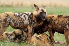 Cani selvaggi che si alimentano, mi leverò in piedi la protezione Fotografie Stock Libere da Diritti